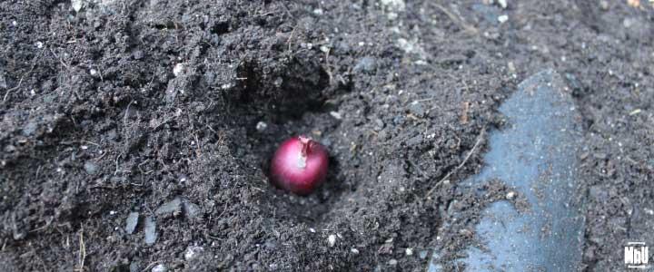 cómo cultivar cebollas