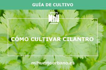Es una planta aromática llamada cilantro