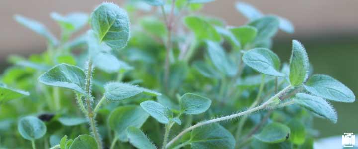 cómo cultivar orégano