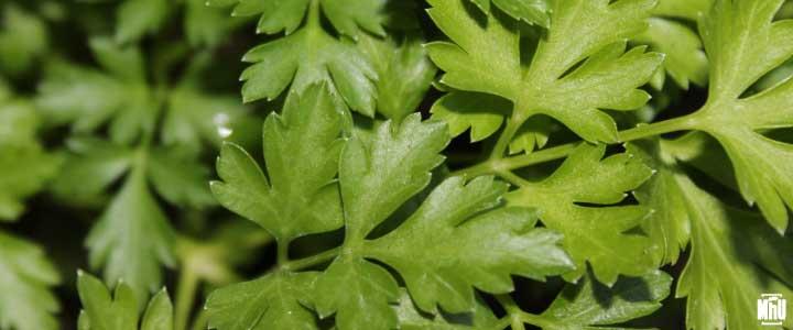 Es una planta aromática llamada perejil