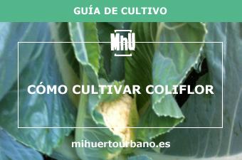 Es una coliflor cultivada en un huerto urbano