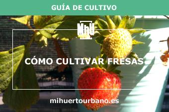 Es una planta de fresas en una maceta en un huerto urbano