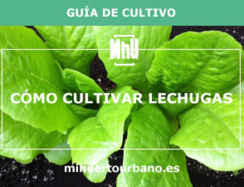 Cómo cultivar lechugas