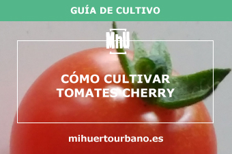 Son tomates cherry de un huerto urbano