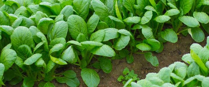 cómo cultivar espinacas
