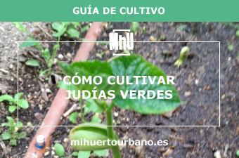 planta de judías verdes en la tierra