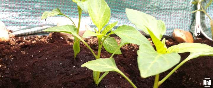 cómo cultivar pimientos