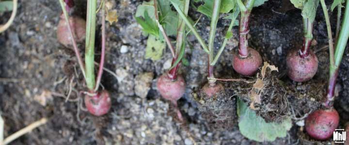 cómo cultivar rábanos