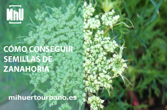 Son flores con semillas de zanahorias cultivadas en un huerto urbano